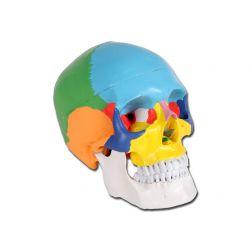 Modello cranio colorato Linea Value 3 parti - 1X