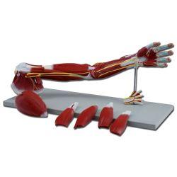 Muscoli del braccio