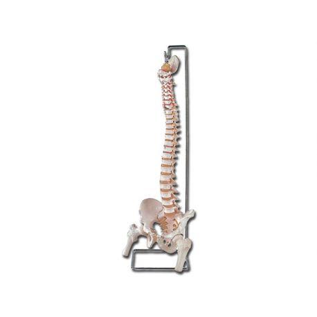 Colonna Vertebrale - con femore e osso sacro