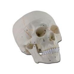 Cranio Umano - con parti numerate